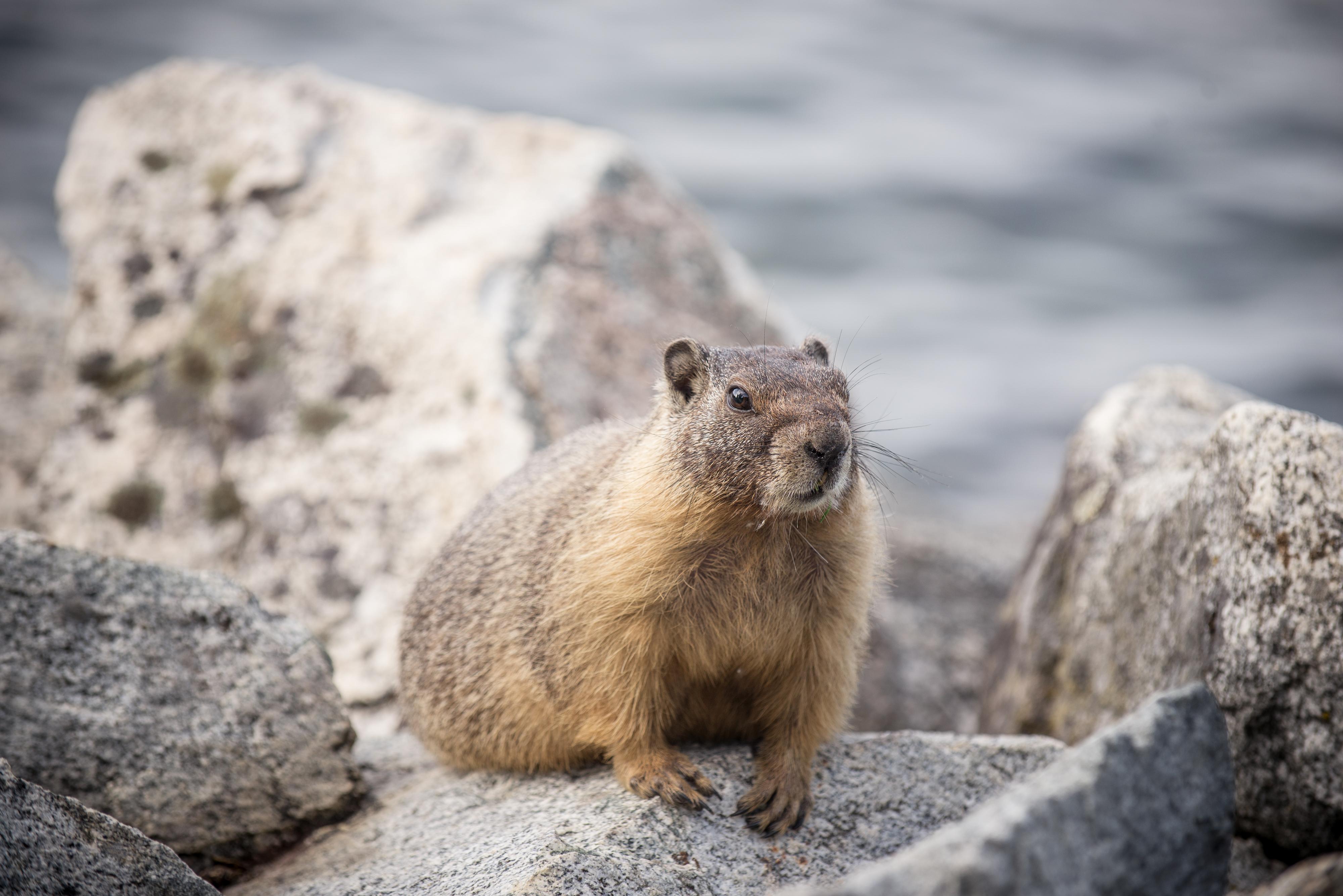 Spokane Marmot