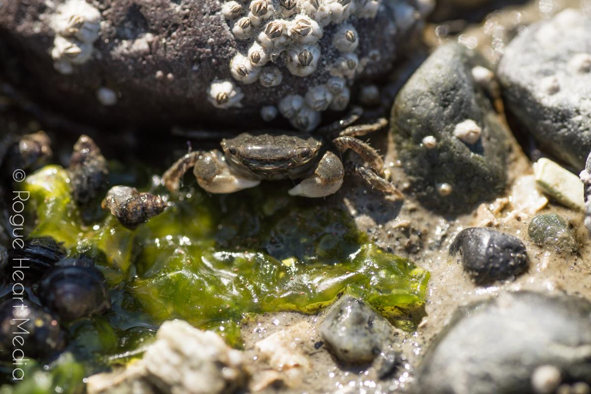 birchbay state park crab